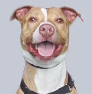 Jack, a large, happy, always-smiling pit bull.