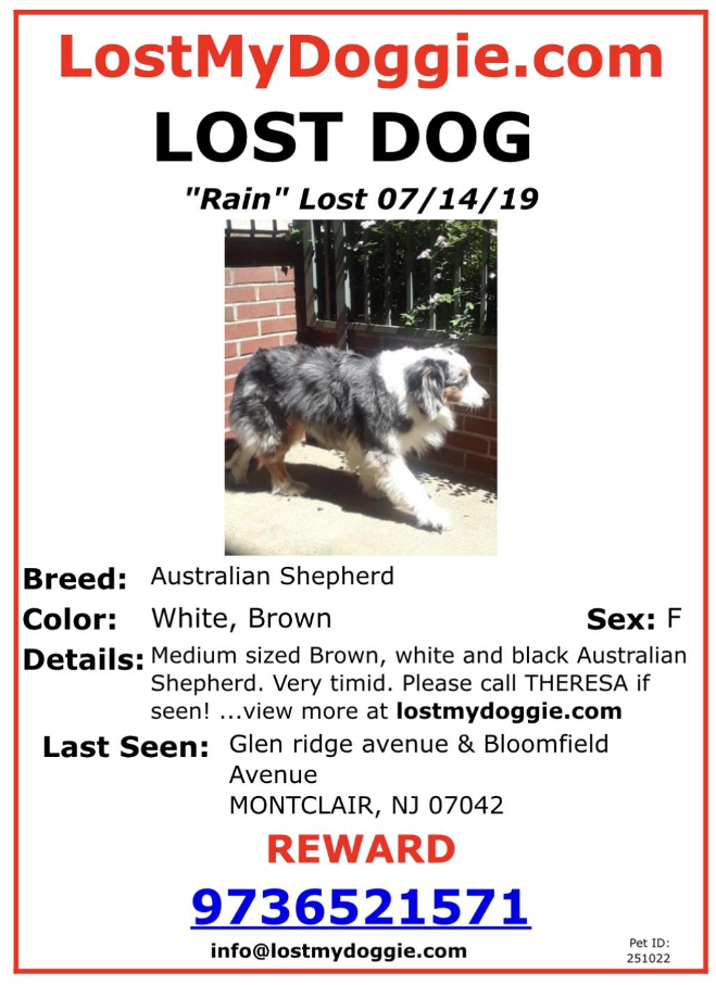 Rain, an 8 yr old female Australian Shepherd, who ran away yesterday morning in Montclair.